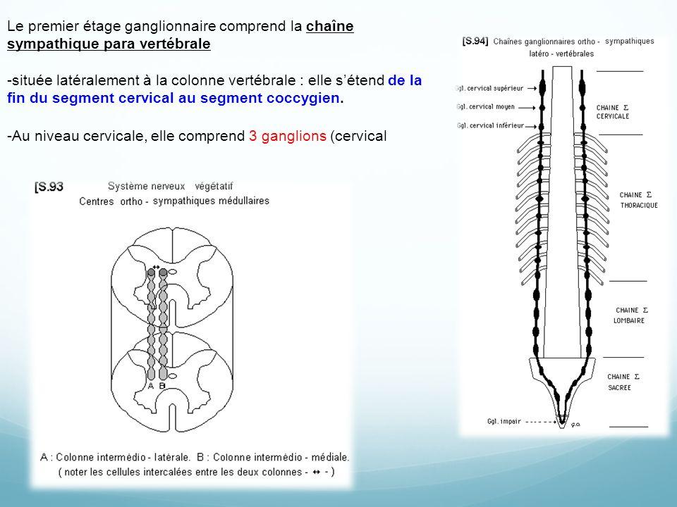 Le premier étage ganglionnaire comprend la chaîne sympathique para vertébrale -située latéralement à la colonne vertébrale : elle sétend de la fin du