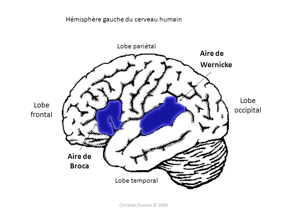 Lobe pariétal Lobe frontal Lobe occipital Lobe temporal Aire de Broca Aire de Wernicke Hémisphère gauche du cerveau humain