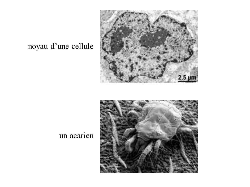 noyau dune cellule un acarien