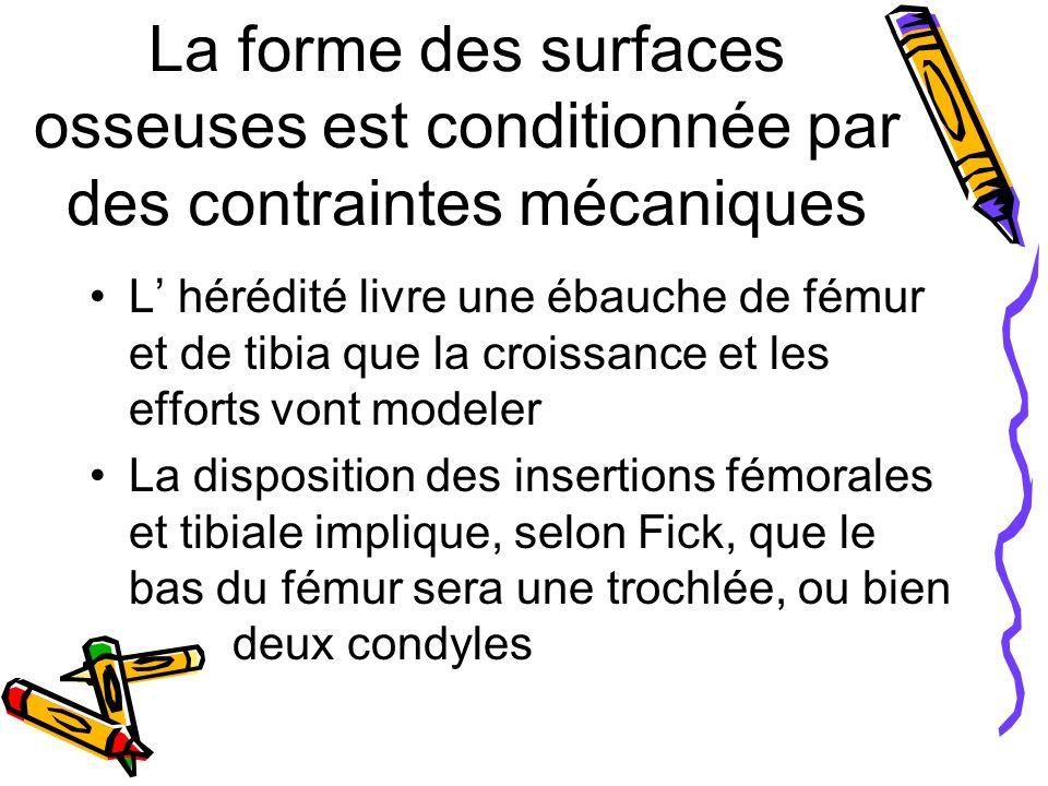 La forme des surfaces osseuses est conditionnée par des contraintes mécaniques L hérédité livre une ébauche de fémur et de tibia que la croissance et les efforts vont modeler La disposition des insertions fémorales et tibiale implique, selon Fick, que le bas du fémur sera une trochlée, ou bien deux condyles