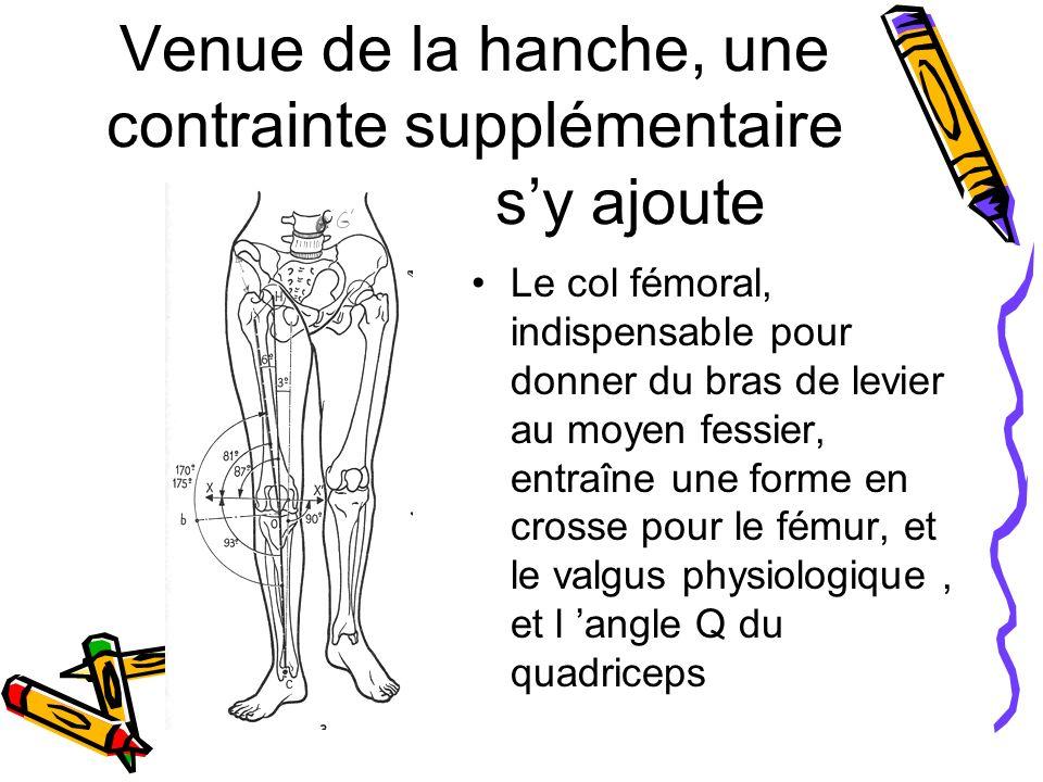 Venue de la hanche, une contrainte supplémentaire sy ajoute Le col fémoral, indispensable pour donner du bras de levier au moyen fessier, entraîne une forme en crosse pour le fémur, et le valgus physiologique, et l angle Q du quadriceps