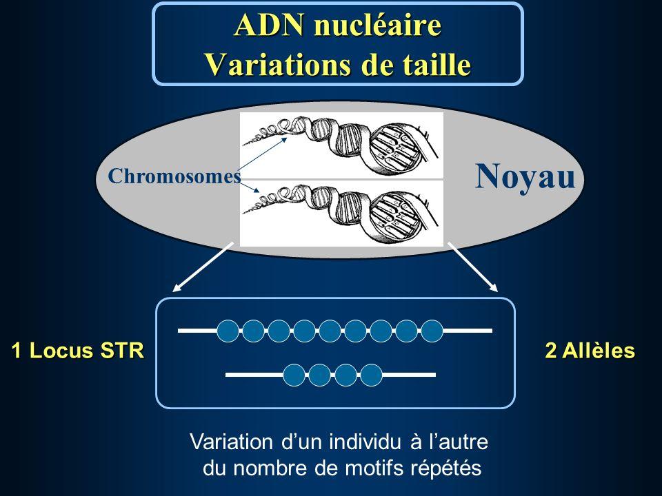 ADN nucléaire Variations de taille Noyau Chromosomes Variation dun individu à lautre du nombre de motifs répétés 1 Locus STR 2 Allèles
