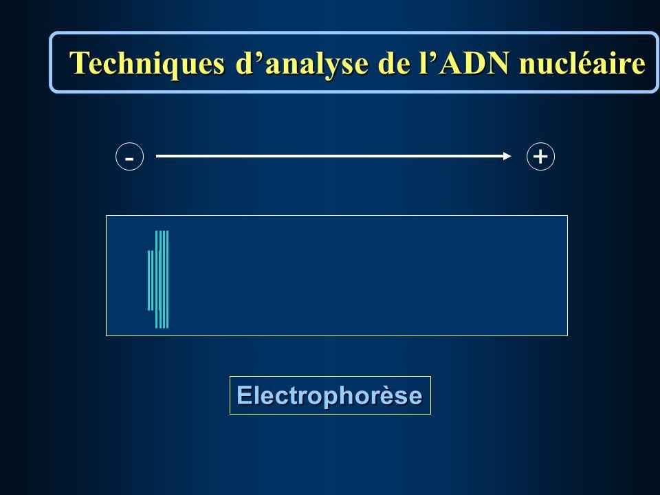 Electrophorèse - +