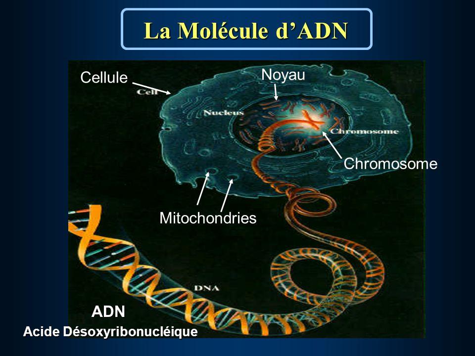 ADN Acide Désoxyribonucléique La Molécule dADN Cellule Mitochondries Noyau Chromosome