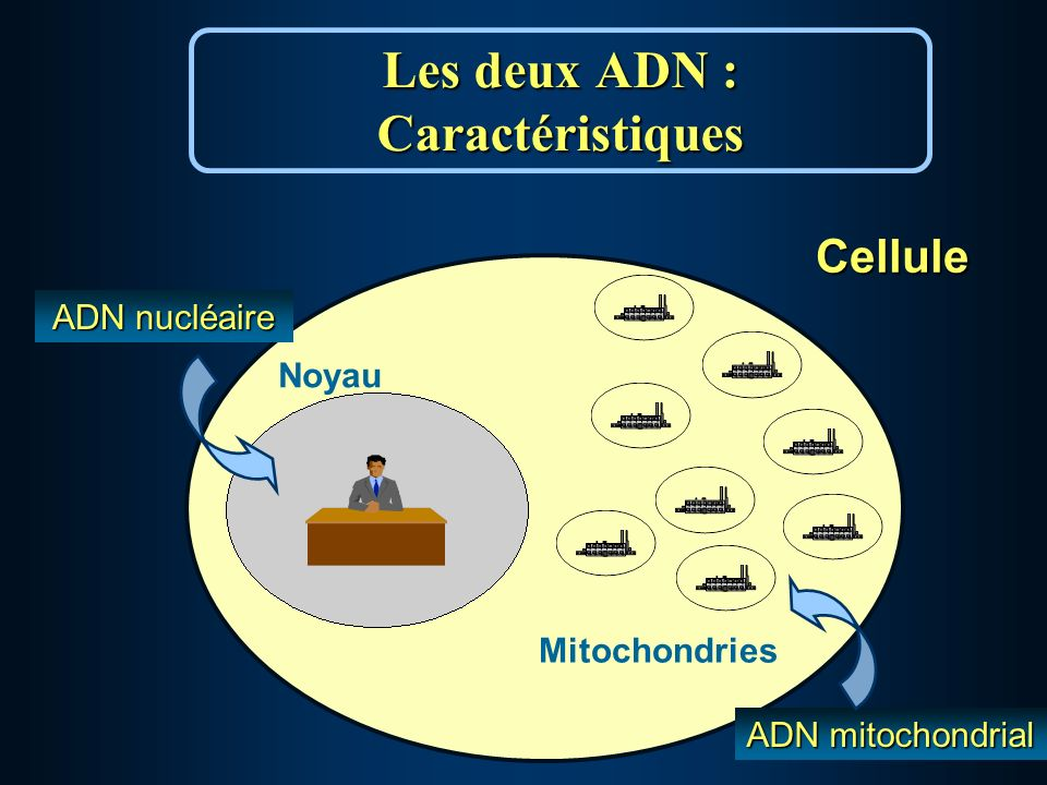 Les deux ADN : Caractéristiques Cellule Mitochondries Noyau ADN nucléaire ADN mitochondrial