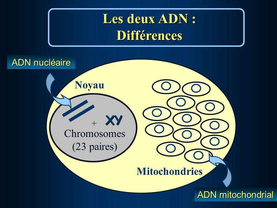 Les deux ADN : Différences Noyau Mitochondries Chromosomes (23 paires) + XY ADN nucléaire ADN mitochondrial