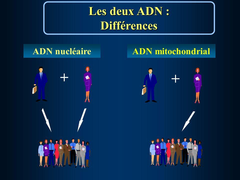 + ADN nucléaire + Les deux ADN : Différences