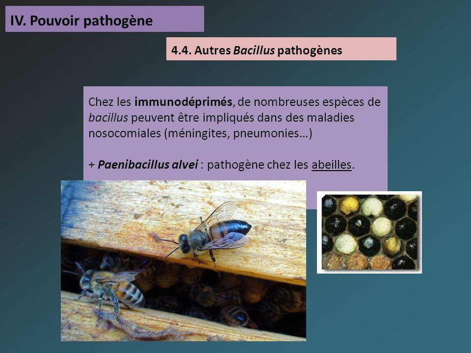IV. Pouvoir pathogène Chez les immunodéprimés, de nombreuses espèces de bacillus peuvent être impliqués dans des maladies nosocomiales (méningites, pn