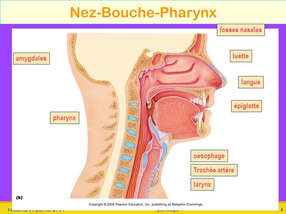 vendredi 10 janvier 2014 pathologie 5 Trach é e - Bronches - Poumons Trachée artère bronches bronchioles Poumon gauche Poumon droit