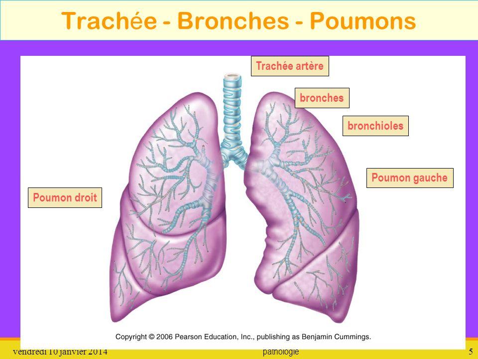 vendredi 10 janvier 2014 pathologie 6 Histologie de la trach é e et bronches Film pour le mucus : http://lewebpedagogique.com/lacrp/2010/12/30/histologie-des-voies-aeriennes-pulmonaires/