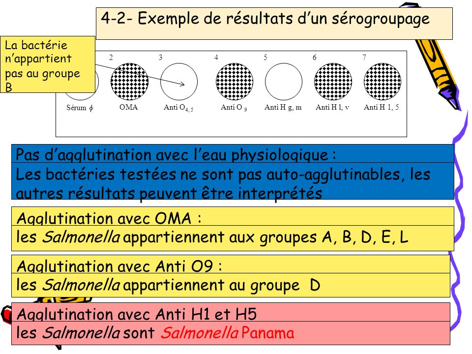 23 12 34 56 Sérum OMA Anti O 4, 5 Anti O 9 Anti H g, mAnti H l, v 7 Anti H 1, 5 4-2- Exemple de résultats dun sérogroupage Pas dagglutination avec lea