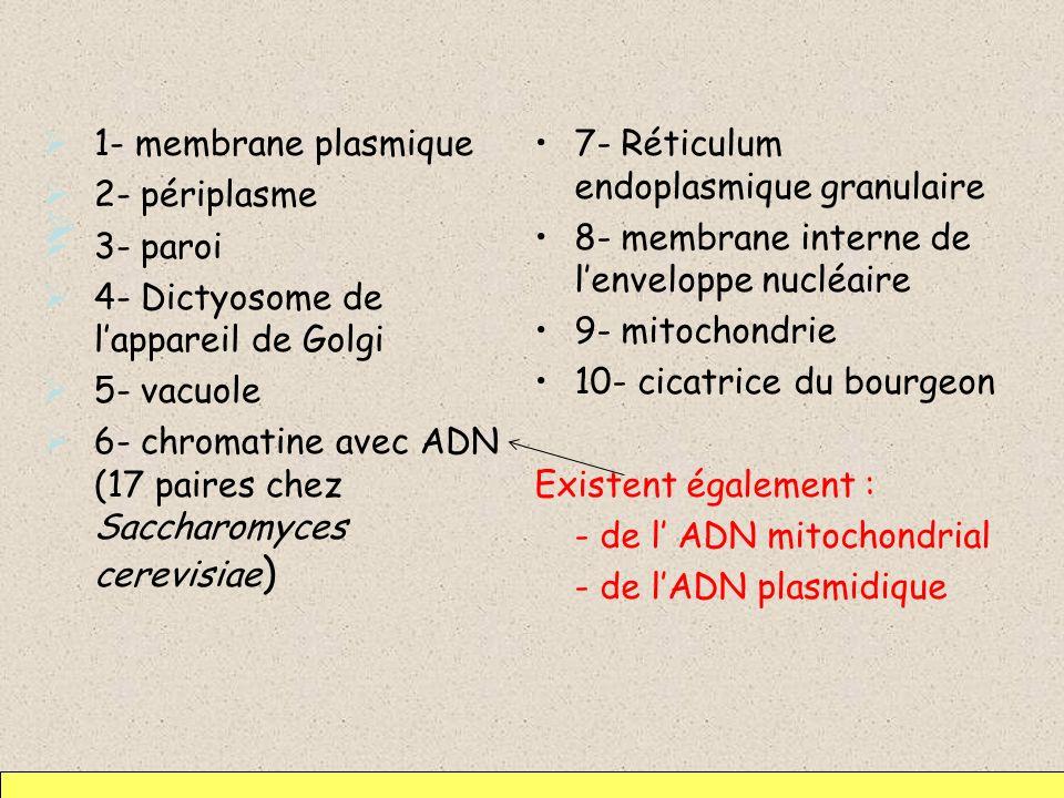 1- membrane plasmique 2- périplasme 3- paroi 4- Dictyosome de lappareil de Golgi 5- vacuole 6- chromatine avec ADN (17 paires chez Saccharomyces cerev