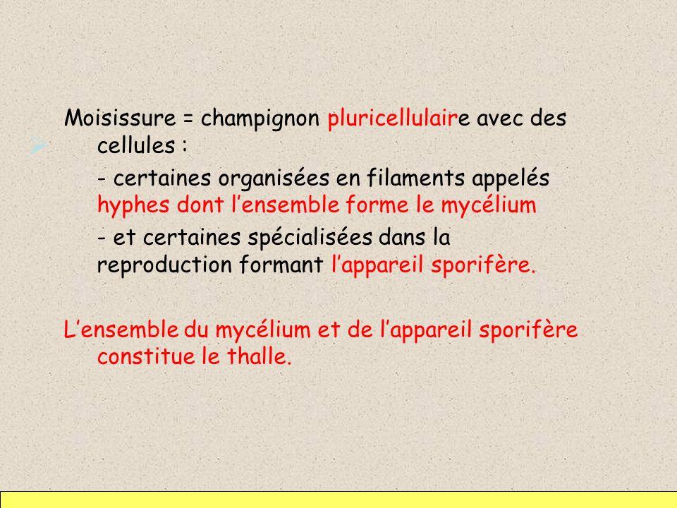 Moisissure = champignon pluricellulaire avec des cellules : - certaines organisées en filaments appelés hyphes dont lensemble forme le mycélium - et c