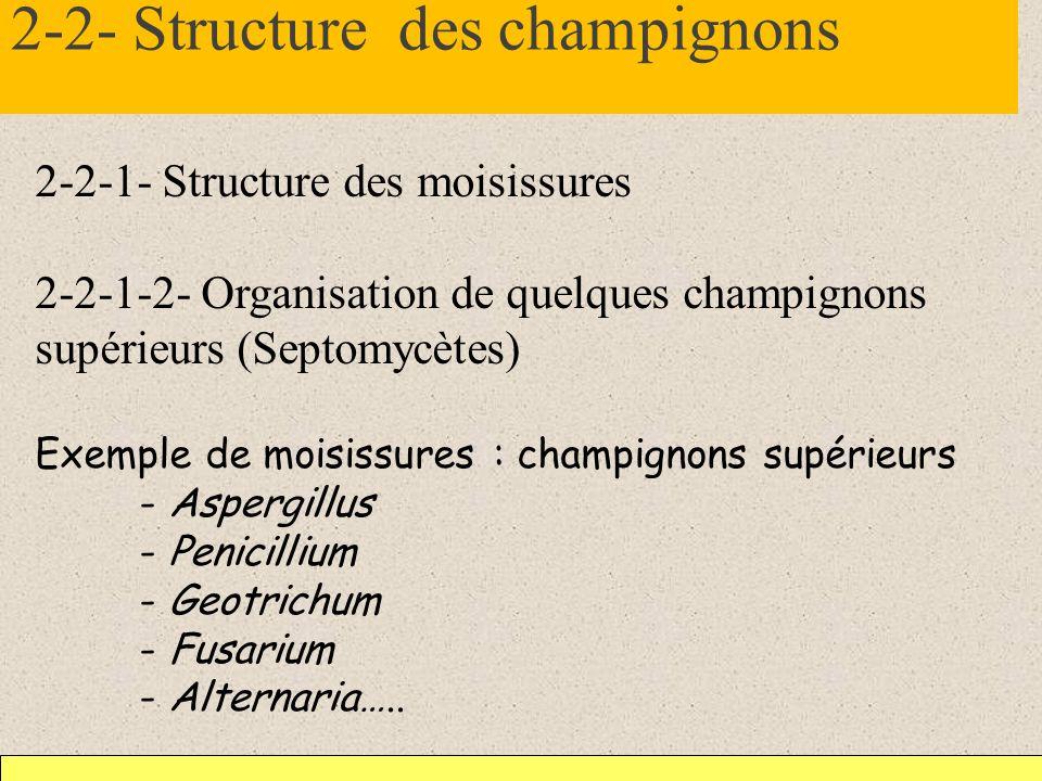 2-2- Structure des champignons 2-2-1- Structure des moisissures 2-2-1-2- Organisation de quelques champignons supérieurs (Septomycètes) Exemple de moi