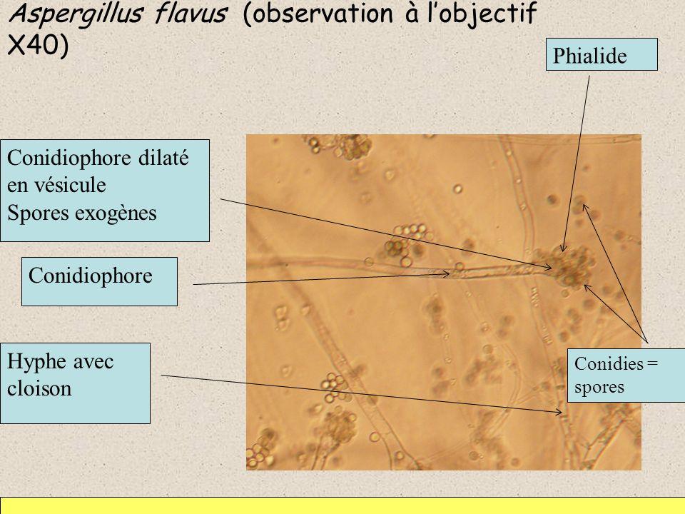 Aspergillus flavus (observation à lobjectif X40) Hyphe avec cloison Conidiophore dilaté en vésicule Spores exogènes Conidiophore Phialide Conidies = s