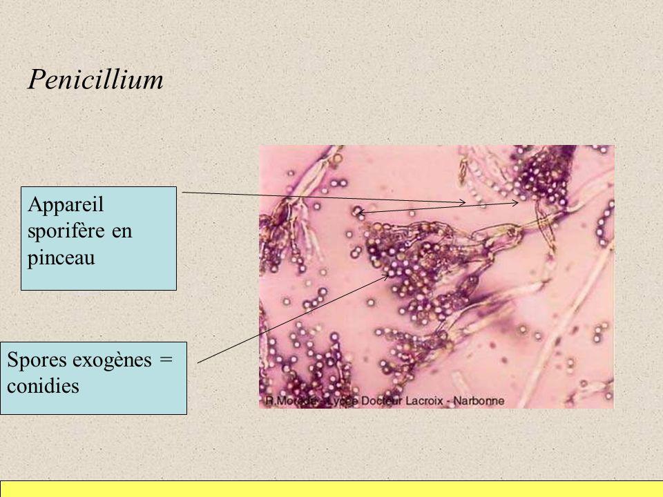 Penicillium Appareil sporifère en pinceau Spores exogènes = conidies