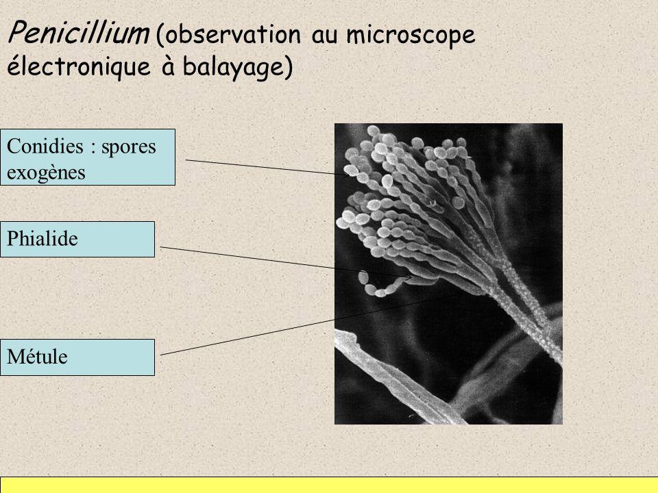 Penicillium (observation au microscope électronique à balayage) Métule Phialide Conidies : spores exogènes