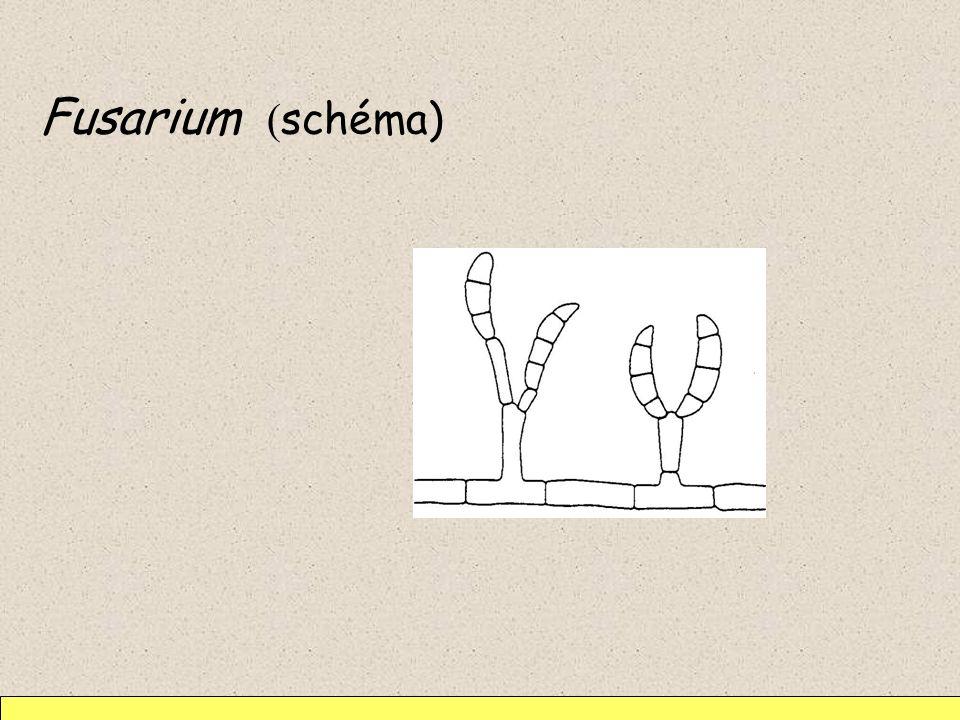 Fusarium ( schéma)