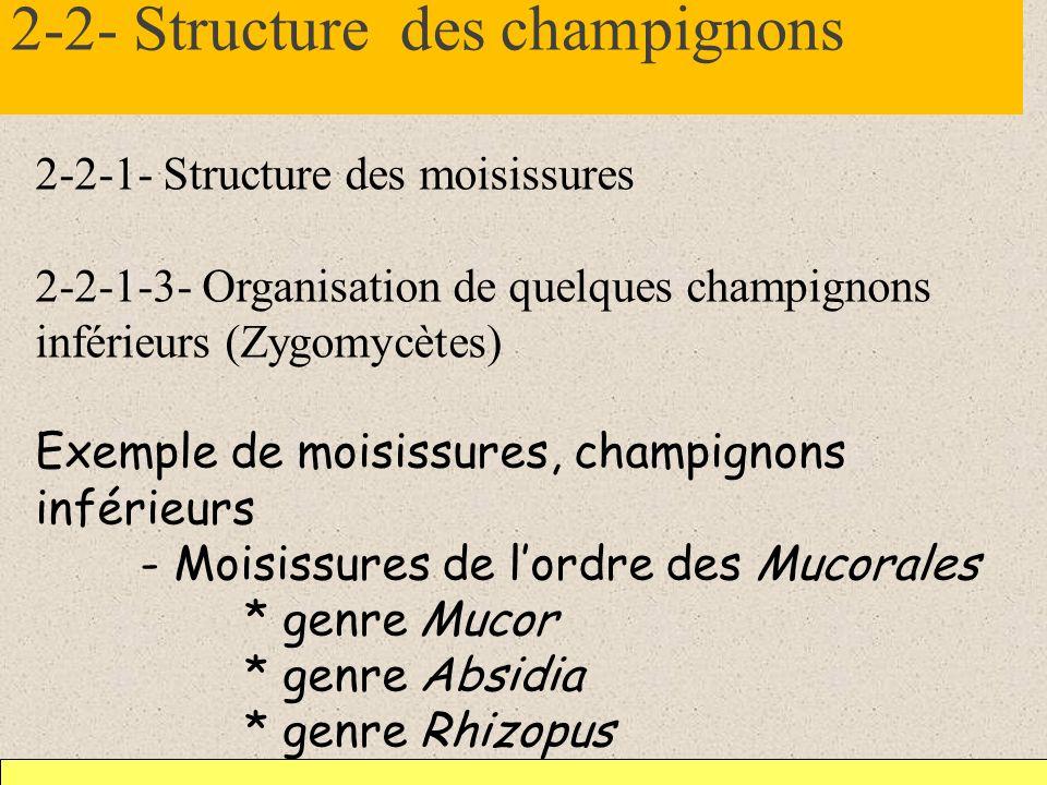2-2- Structure des champignons 2-2-1- Structure des moisissures 2-2-1-3- Organisation de quelques champignons inférieurs (Zygomycètes) Exemple de mois
