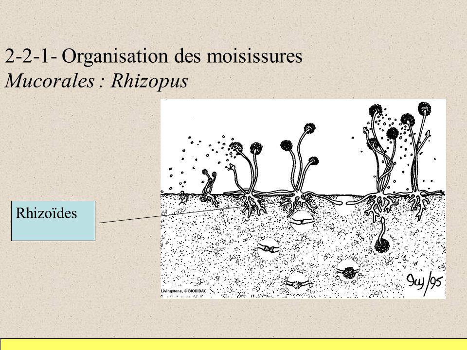 2-2-1- Organisation des moisissures Mucorales : Rhizopus Rhizoïdes