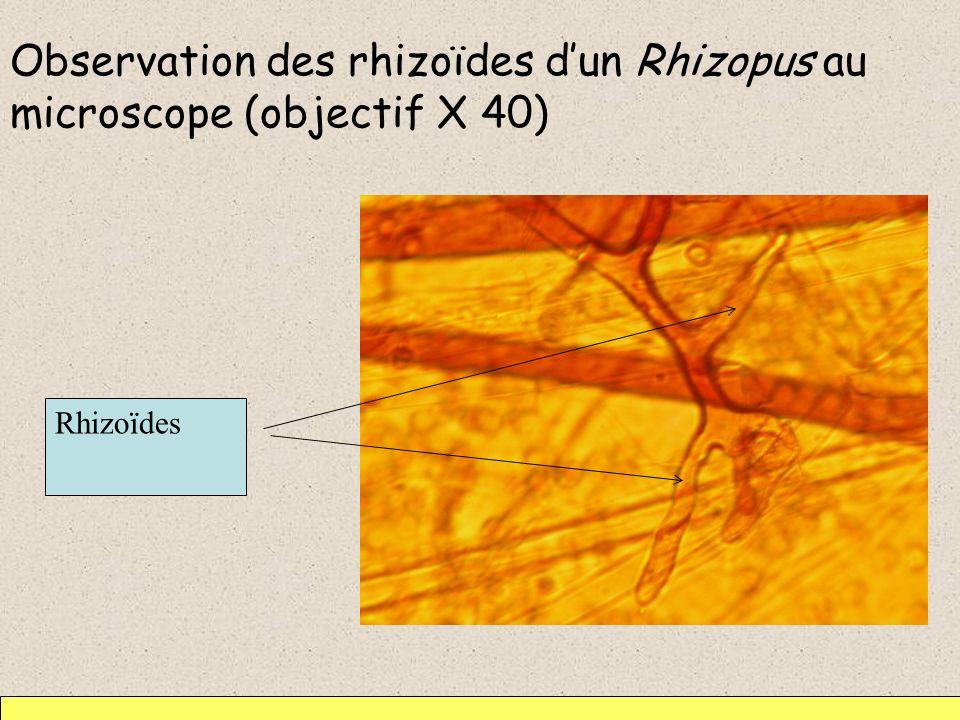 Observation des rhizoïdes dun Rhizopus au microscope (objectif X 40) Rhizoïdes