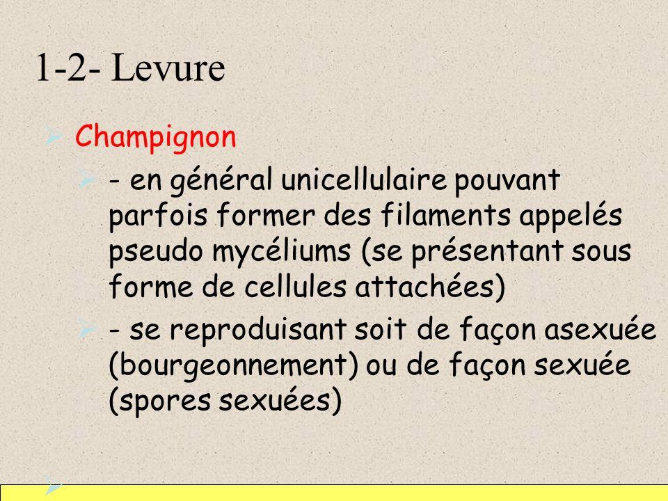 1-2- Levure Champignon - en général unicellulaire pouvant parfois former des filaments appelés pseudo mycéliums (se présentant sous forme de cellules