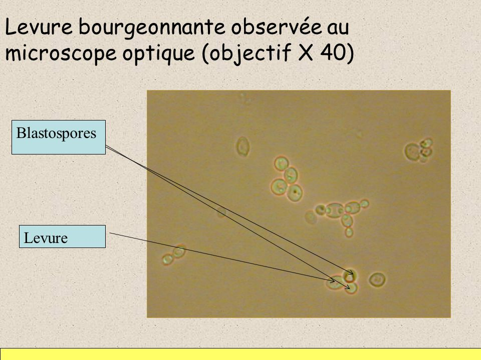 Levure bourgeonnante observée au microscope optique (objectif X 40) Levure Blastospores