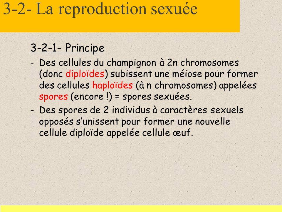 3-2- La reproduction sexuée 3-2-1- Principe -Des cellules du champignon à 2n chromosomes (donc diploïdes) subissent une méiose pour former des cellule