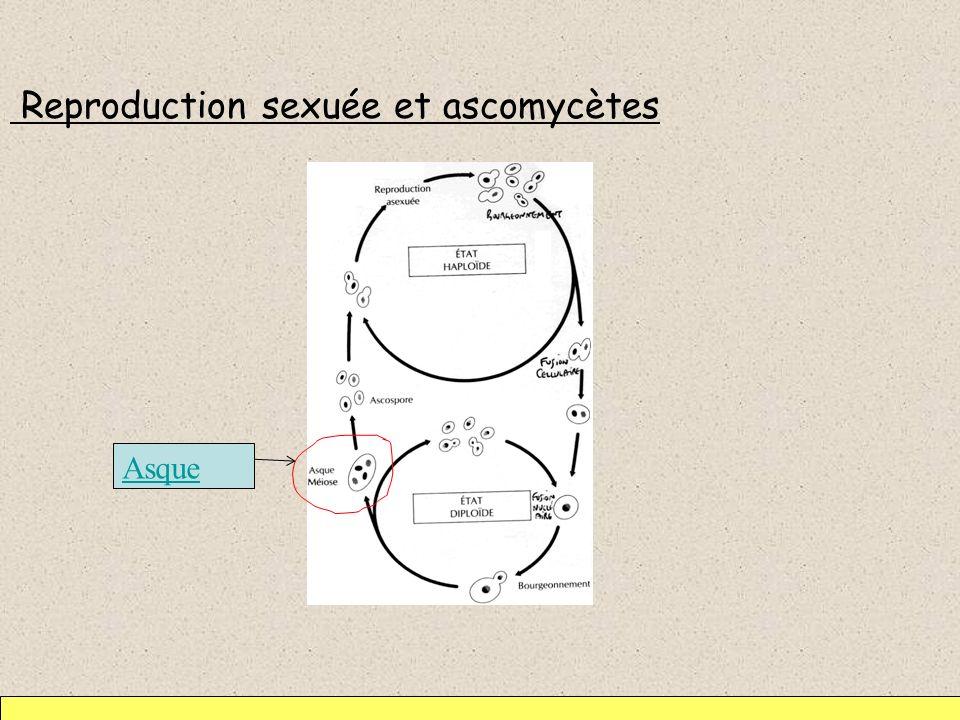 Reproduction sexuée et ascomycètes Asque