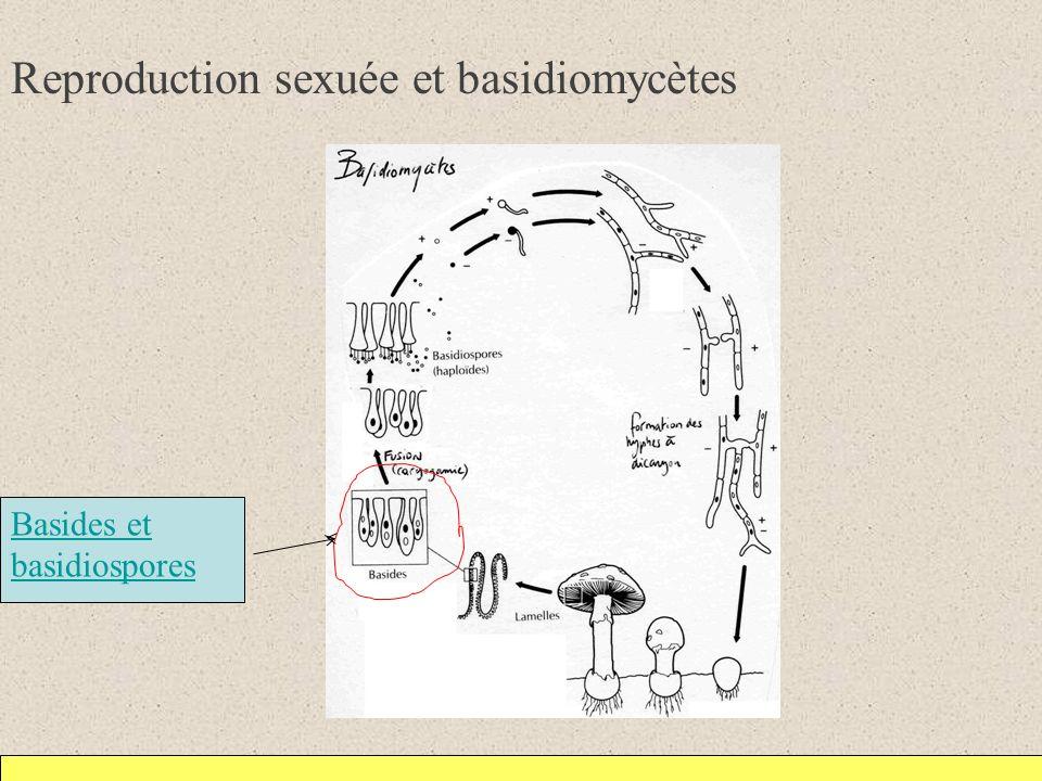 Reproduction sexuée et basidiomycètes Basides et basidiospores