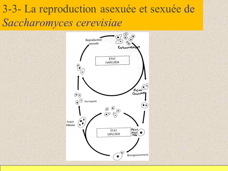 3-3- La reproduction asexuée et sexuée de Saccharomyces cerevisiae