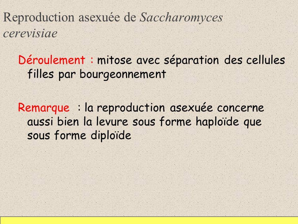 Reproduction asexuée de Saccharomyces cerevisiae Déroulement : mitose avec séparation des cellules filles par bourgeonnement Remarque : la reproductio
