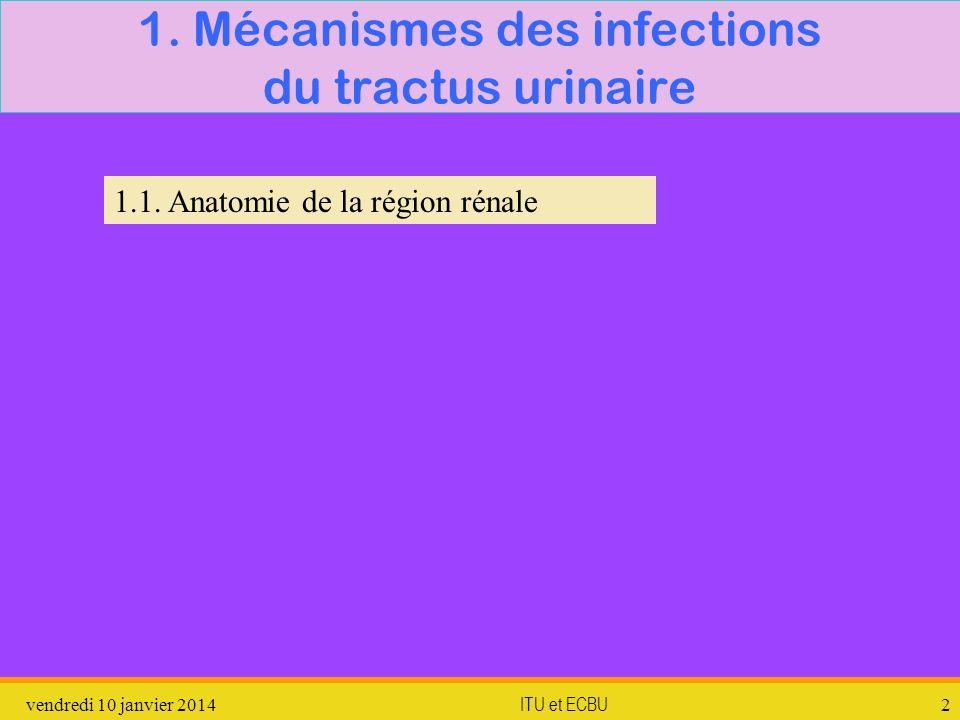 vendredi 10 janvier 2014 ITU et ECBU 2 1. Mécanismes des infections du tractus urinaire 1.1. Anatomie de la région rénale
