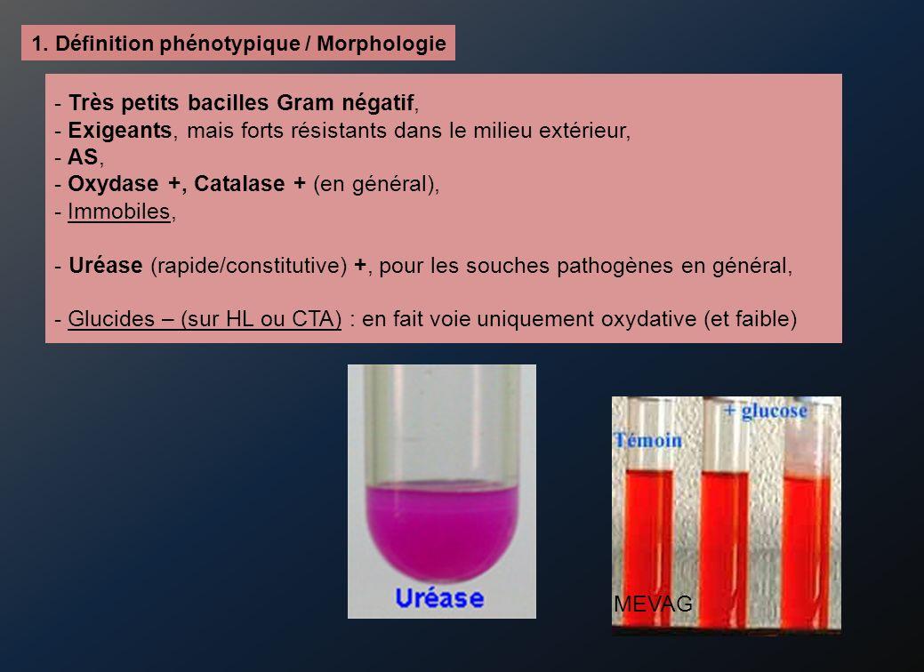 - Très petits bacilles Gram négatif, - Exigeants, mais forts résistants dans le milieu extérieur, - AS, - Oxydase +, Catalase + (en général), - Immobiles, - Uréase (rapide/constitutive) +, pour les souches pathogènes en général, - Glucides – (sur HL ou CTA) : en fait voie uniquement oxydative (et faible) 1.