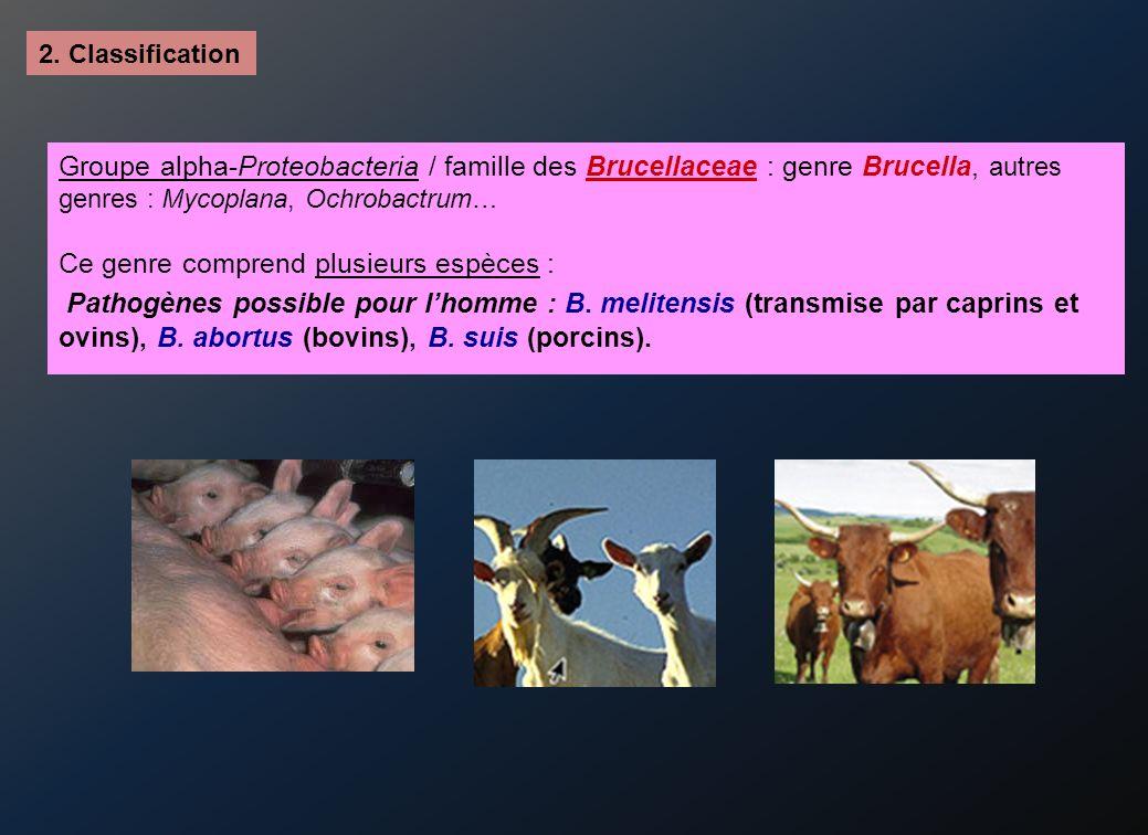 2. Classification Groupe alpha-Proteobacteria / famille des Brucellaceae : genre Brucella, autres genres : Mycoplana, Ochrobactrum… Ce genre comprend