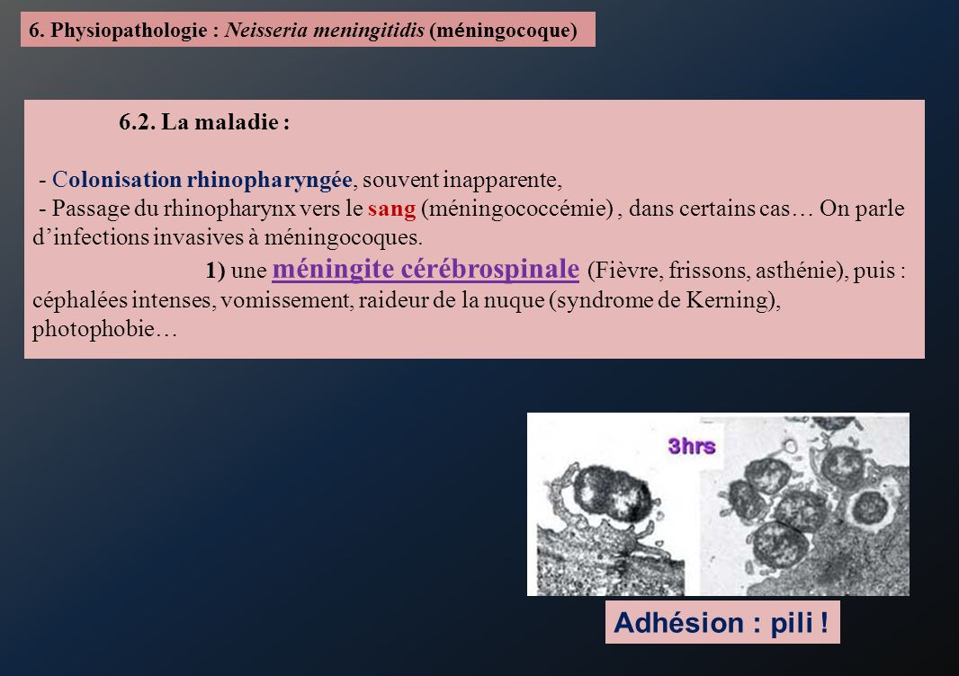 6. Physiopathologie : Neisseria meningitidis (m é ningocoque) 6.2. La maladie : - Colonisation rhinopharyngée, souvent inapparente, - Passage du rhino