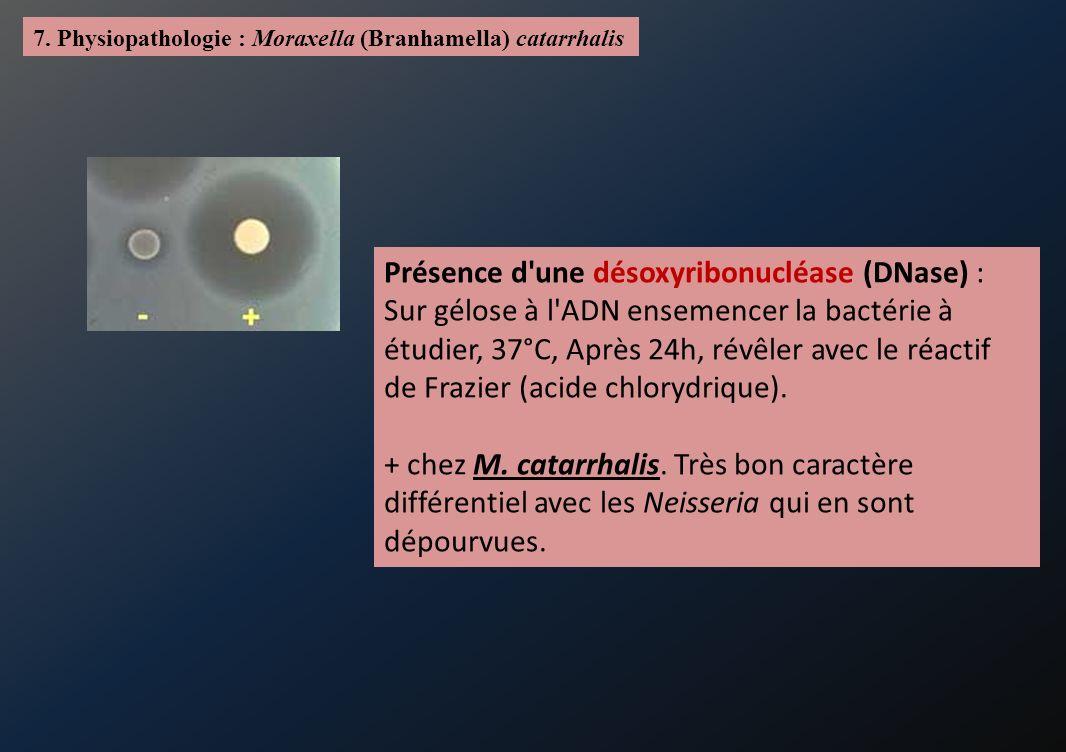 7. Physiopathologie : Moraxella (Branhamella) catarrhalis Présence d'une désoxyribonucléase (DNase) : Sur gélose à l'ADN ensemencer la bactérie à étud