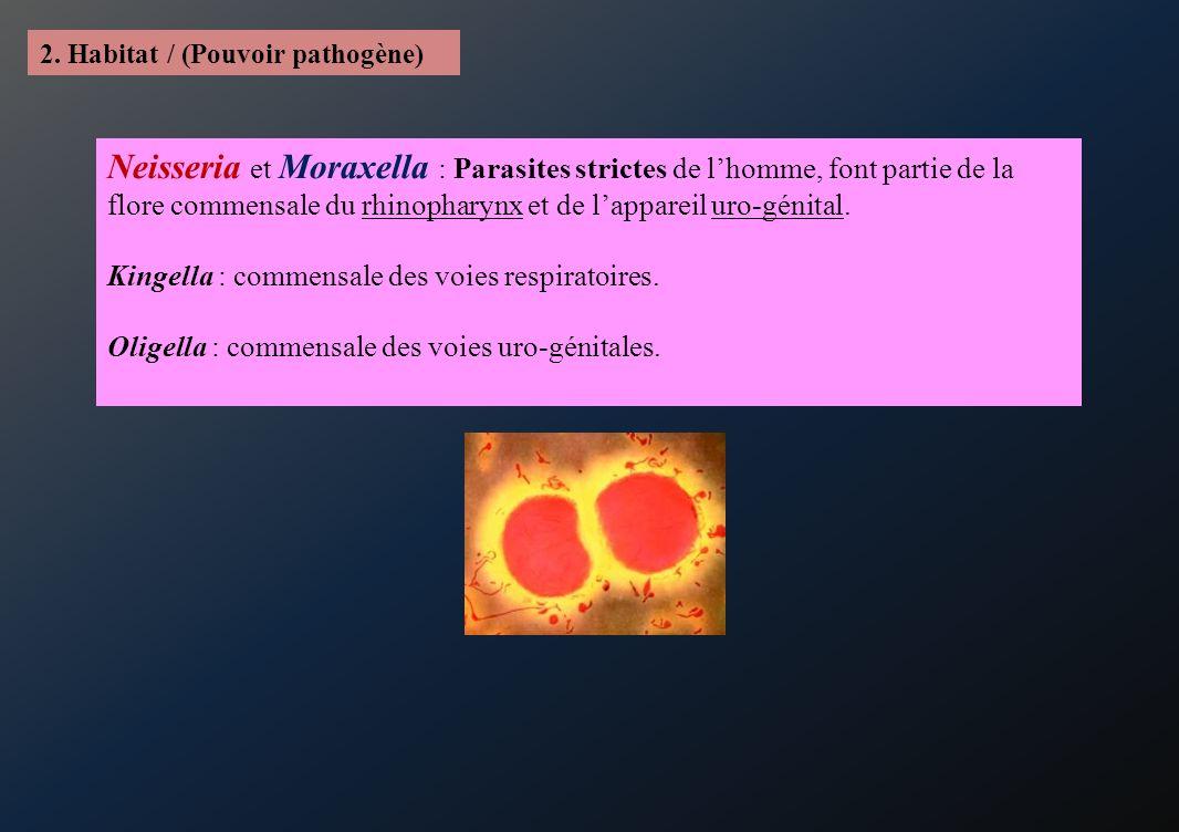 2. Habitat / (Pouvoir pathogène) Neisseria et Moraxella : Parasites strictes de lhomme, font partie de la flore commensale du rhinopharynx et de lappa