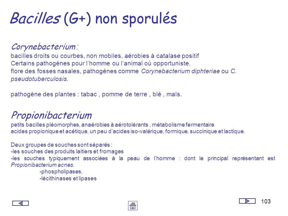 103 Bacilles (G+) non sporulés Corynebacterium : bacilles droits ou courbes, non mobiles, aérobies à catalase positif Certains pathogènes pour lhomme