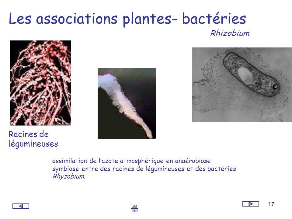 17 Les associations plantes- bactéries Racines de légumineuses Rhizobium assimilation de lazote atmosphérique en anaérobiose symbiose entre des racine