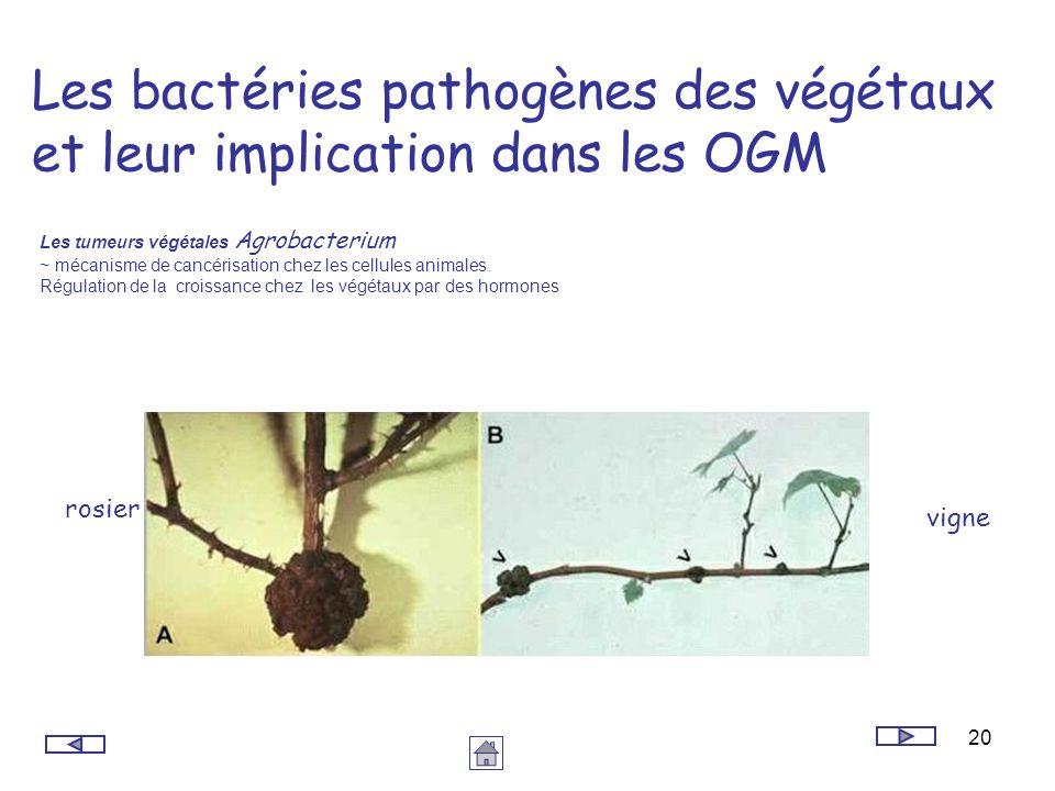 20 Les bactéries pathogènes des végétaux et leur implication dans les OGM Les tumeurs végétales Agrobacterium ~ mécanisme de cancérisation chez les ce