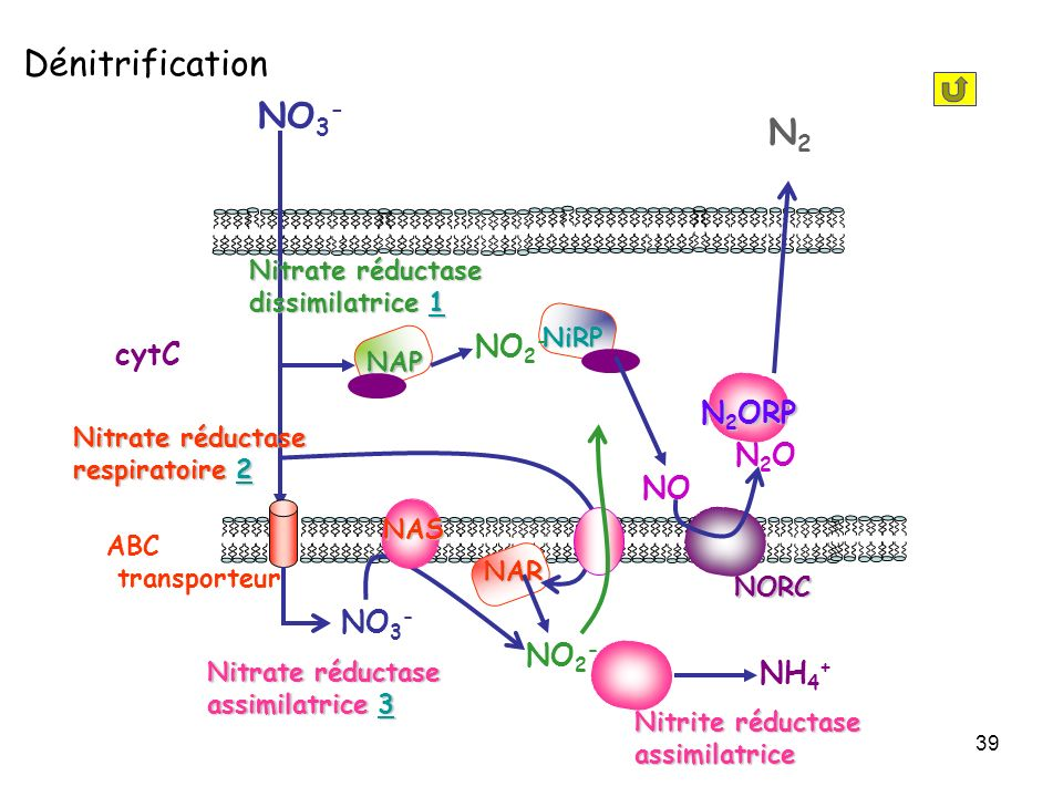 39 NO 3 - NAP cytC NORC N2ON2O N 2 ORP N2N2 NO 3 - ABC transporteur Nitrate réductase assimilatrice 3 3 Nitrate réductase dissimilatrice 1 1 NAS NiRP