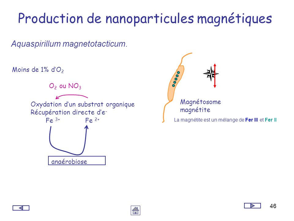 46 Production de nanoparticules magnétiques Aquaspirillum magnetotacticum. Oxydation dun substrat organique Récupération directe de - O 2 ou NO 3 Moin