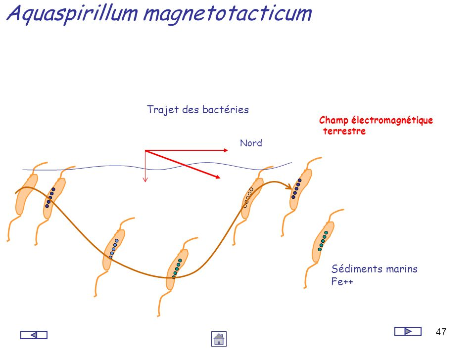 47 Aquaspirillum magnetotacticum Sédiments marins Fe++ Trajet des bactéries Nord Champ électromagnétique terrestre