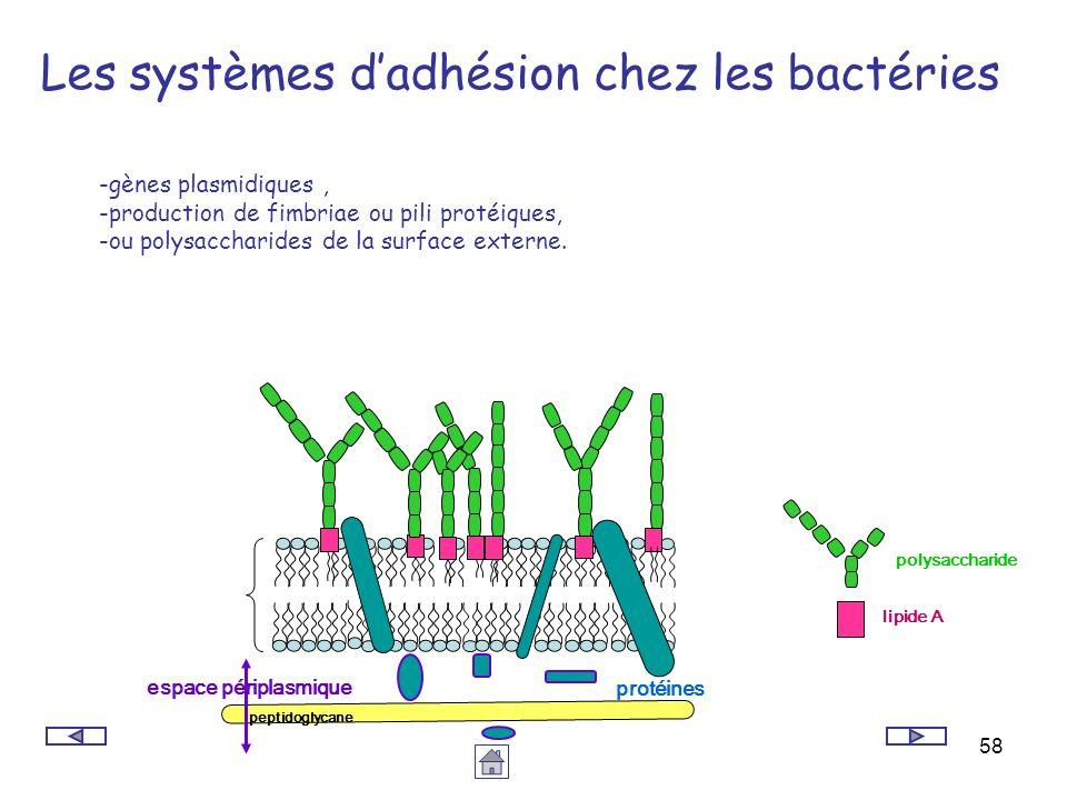 58 Les systèmes dadhésion chez les bactéries -gènes plasmidiques, -production de fimbriae ou pili protéiques, -ou polysaccharides de la surface extern