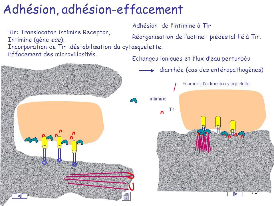 73 Adhésion, adhésion-effacement Tir: Translocator intimine Receptor, Intimine (gène eae). Incorporation de Tir :déstabilisation du cytosquelette. Eff