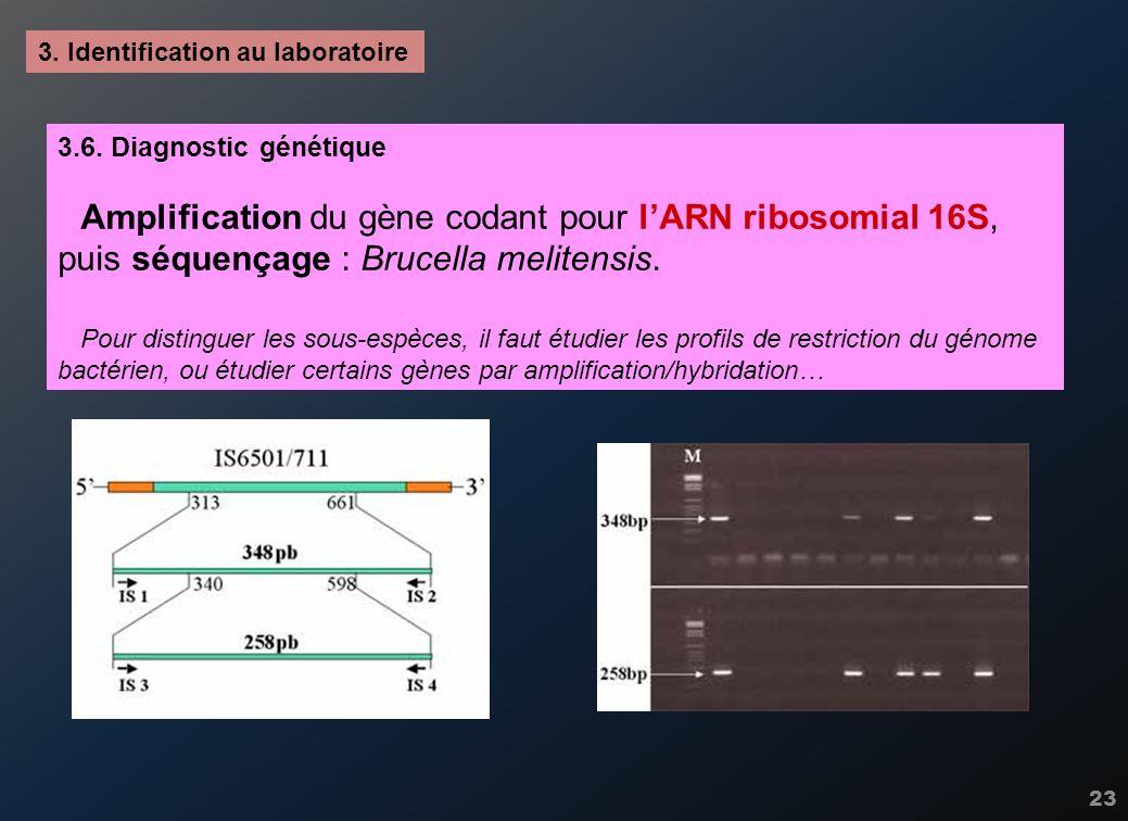 23 3. Identification au laboratoire 3.6. Diagnostic génétique Amplification du gène codant pour lARN ribosomial 16S, puis séquençage : Brucella melite