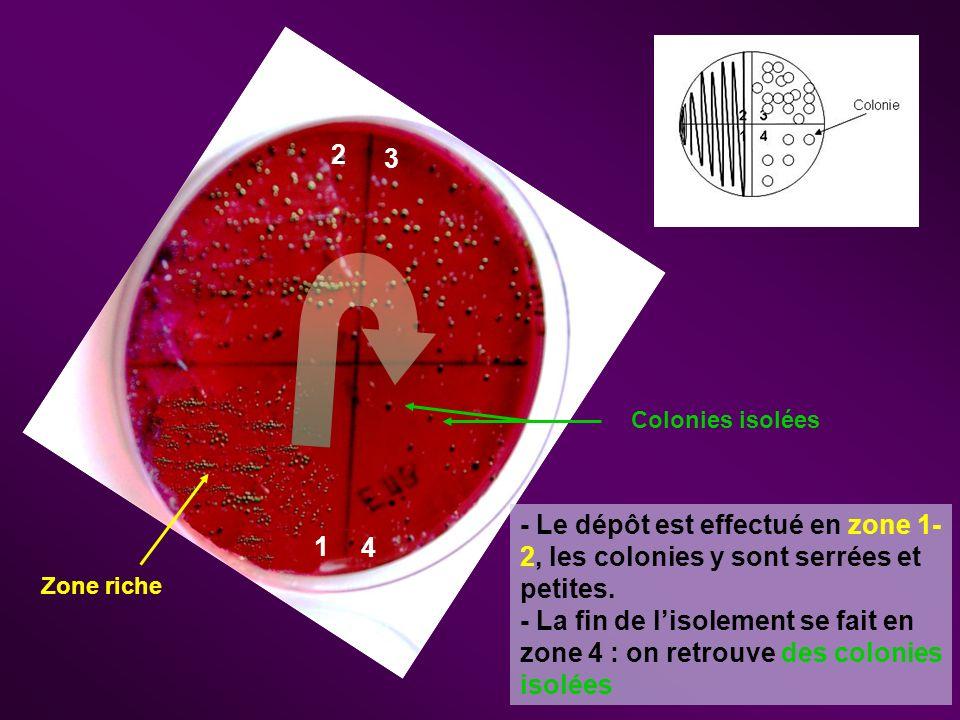 Lisolement : Obtention dune colonie pure (ensemble de clones bactériens) Colonie isolée