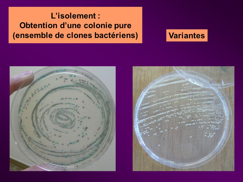 Lisolement : Obtention dune colonie pure (ensemble de clones bactériens) Variantes