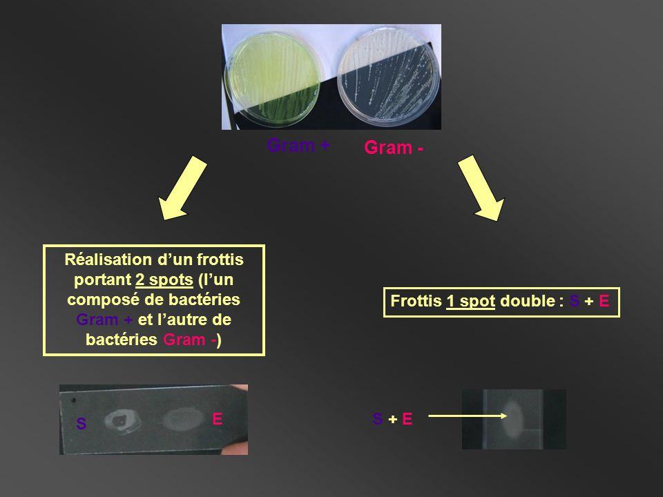 Réalisation dun frottis portant 2 spots (lun composé de bactéries Gram + et lautre de bactéries Gram -) S E Frottis 1 spot double : S + E S + E Gram +